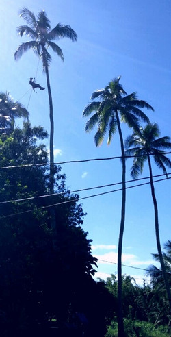 Coconut Tree Pruning