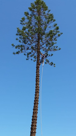 Norfolk Pine Tree Removal