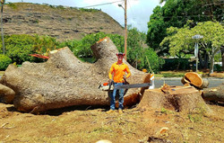Monkey Pod Tree Removal