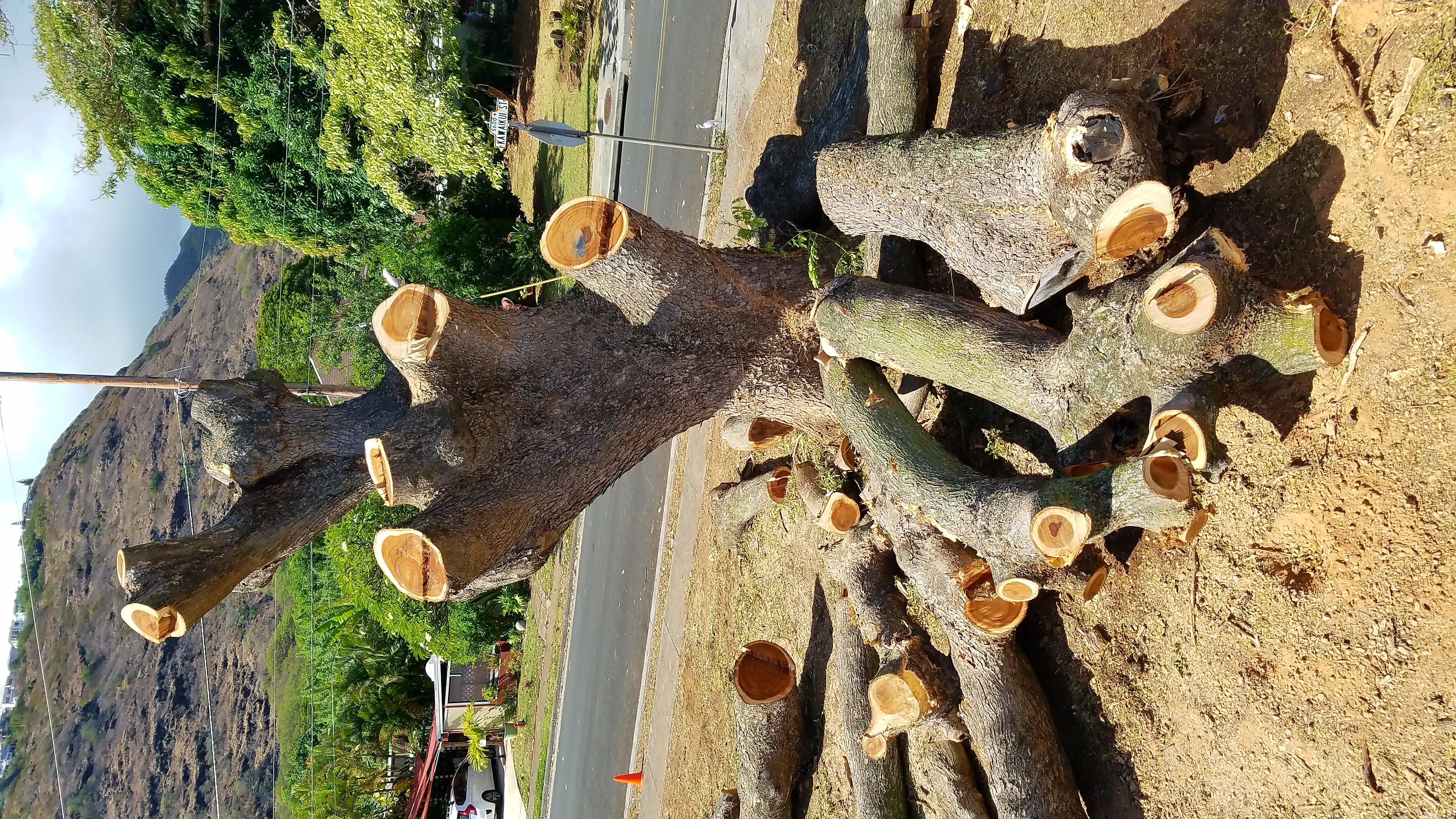 Monkey Pod Tree Removal