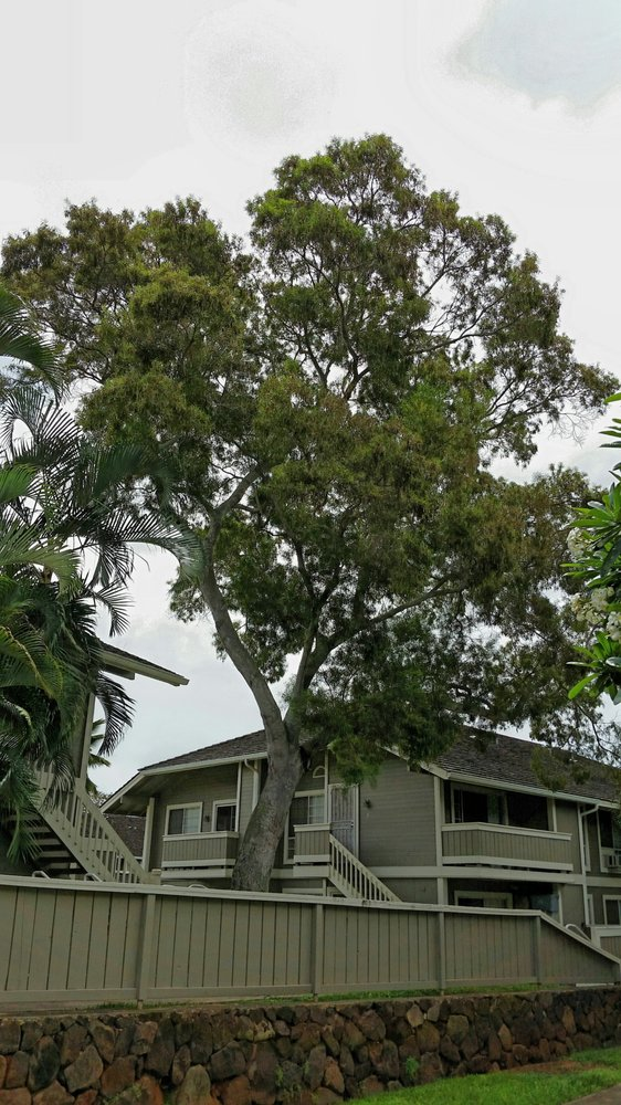 Famosa Koa Tree Removal