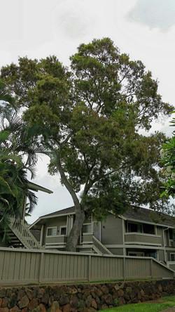 Famosa Koa Tree Removal