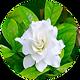 Gardenia Rose.jpg.png