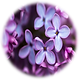 Lilac Flowers.jpg.png