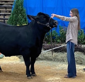 Market Steer Norman takes 3rd in Class