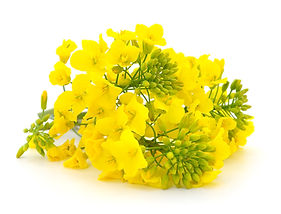 Mustard Flower blossom, Canola or Oilsee
