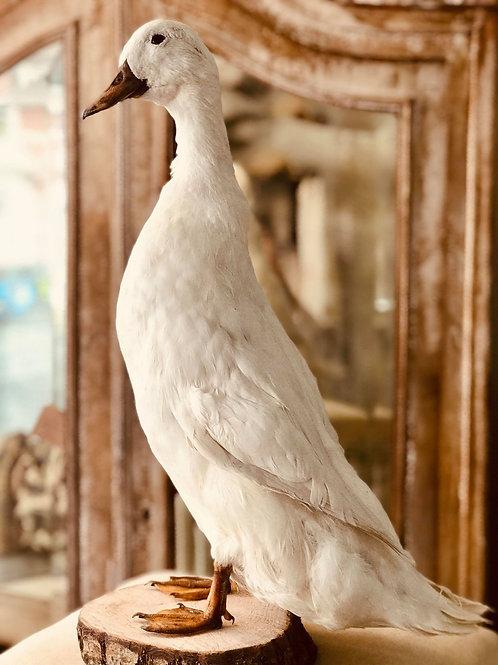 Beautiful taxidermy duck