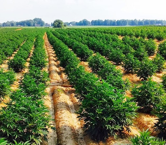 Tennessee Hemp Field