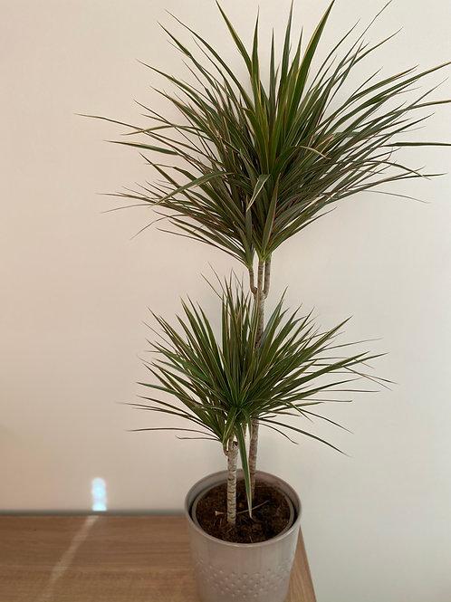 Dracaena Bicolour Plant