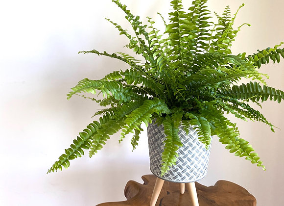 'Air Purifying Collection' Green Lady Boston Fern in Rustic Pot with legs