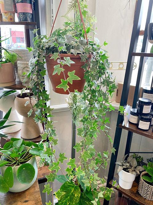 Hanging Ivy (Hedera)
