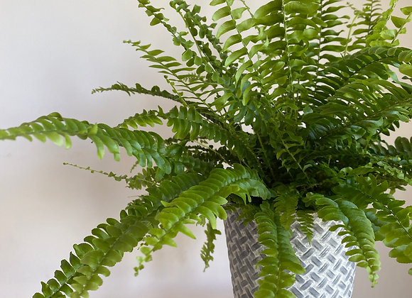 'Air Purifying Collection' Green Lady Boston Fern