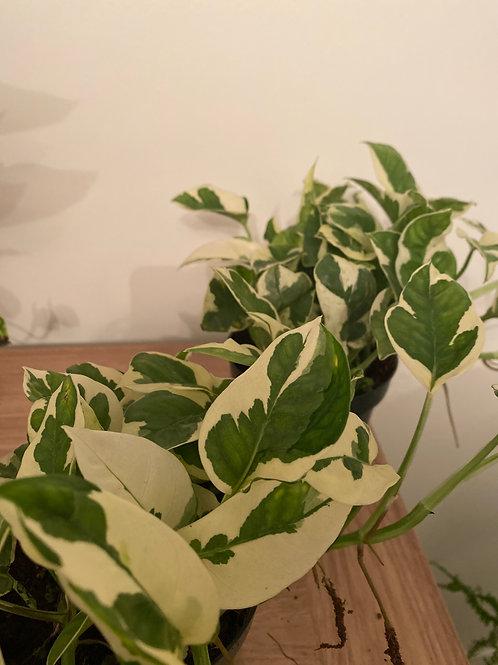 Vareigated Pothos plant (Epipremnun Njoy)