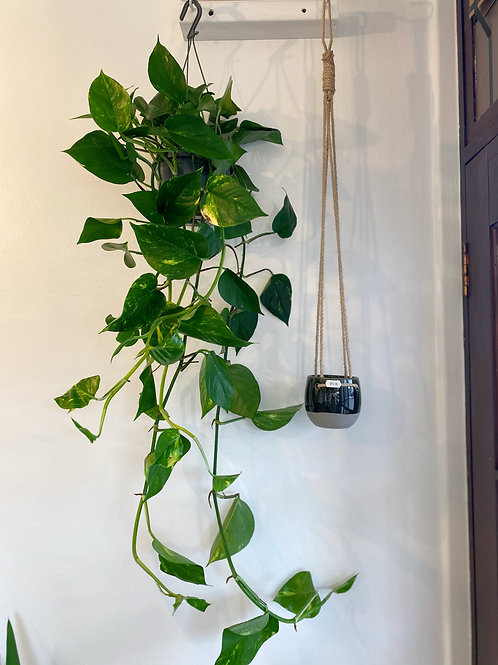 Golden Pothos - Hanging