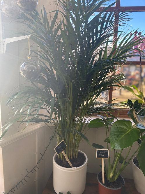 Golden Cane Plant