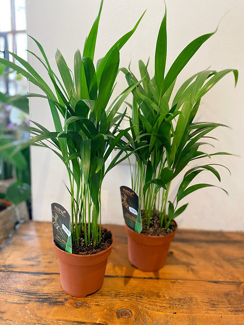Golden Cane Palm (Chrysalidocarpus Lutescens)