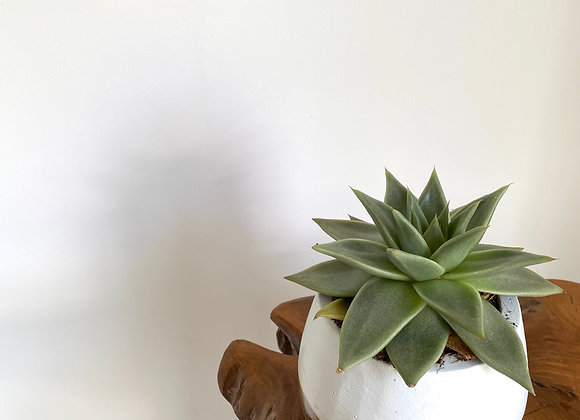 Succulent Plant in rustic white and gold pot