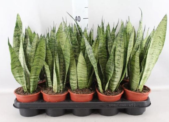 'Air Purifying Collection' Snake Plant