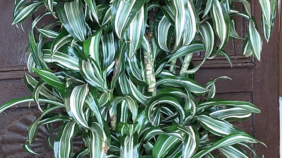 Dracaena variegata