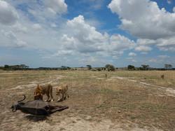 ライオンと草原.jpg