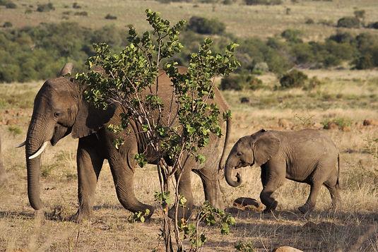 elephant-4477530.jpg