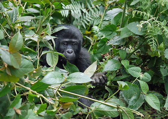 gorilla-1386501.jpg