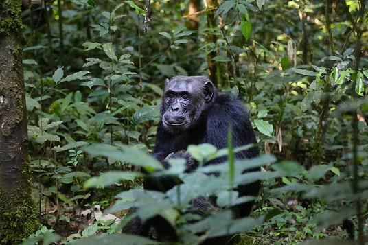 chimpanzee-898756.jpg
