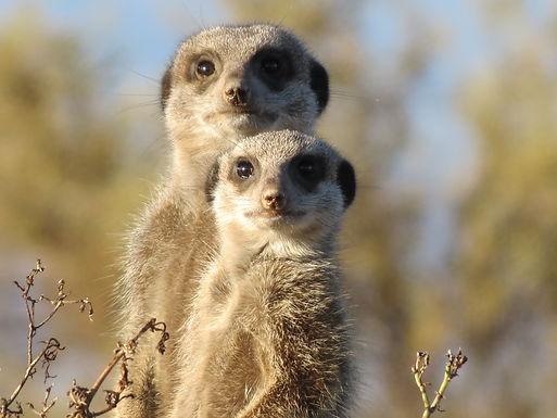 meerkat-255564.jpg