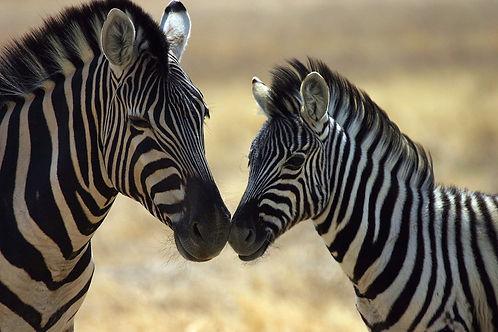 zebra-4630214_1920.jpg