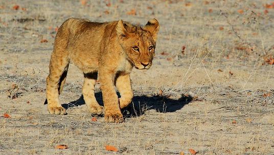 lion-1305797_1920.jpg
