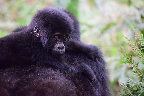 Uganda-Gorilla-Trekking-4-Tage.jpg