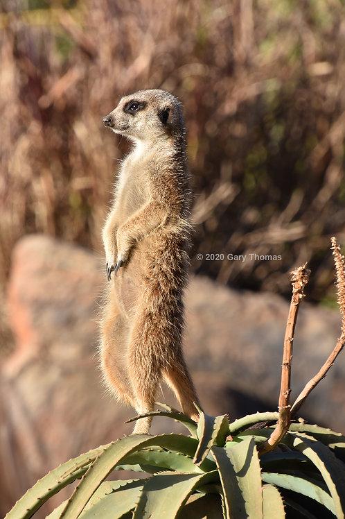 Meerkat (04-300)