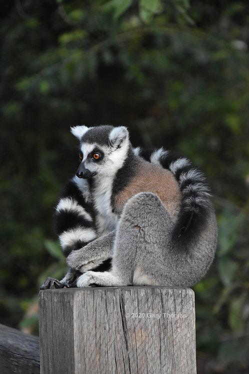 Lemur (01-300)