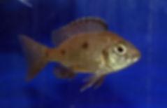 Копадихромис Азуреус
