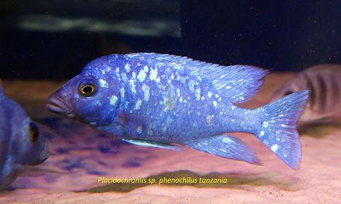 Плацидохромис феночилус Танзания