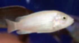 Лабидохромис Чизумулу