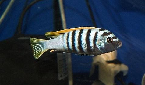 Цинотиляпия Яло риф