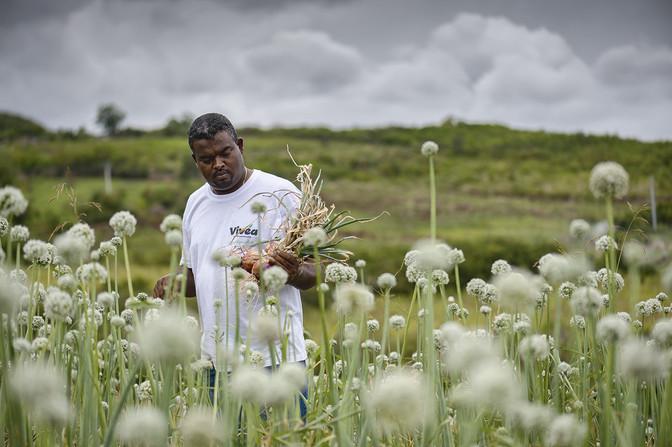 Maximilien Araye, producteur d'oignons