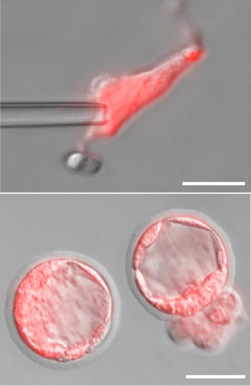 oocyte2.png