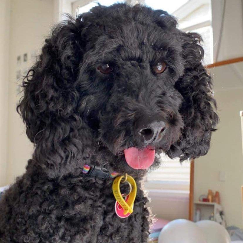 Miniature poodle with tongue out.