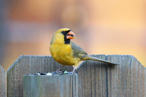 Yellow Cardinal on the Fence, Second Edition