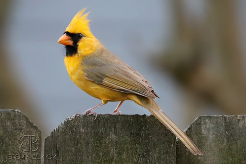 Yellow Cardinal on the Fence, First Edition