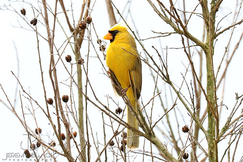 Yellow Cardinal in the Crepe Myrtle