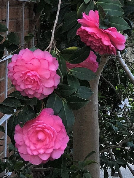 USED Camellias.jpg