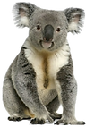 koala_edited_edited.png
