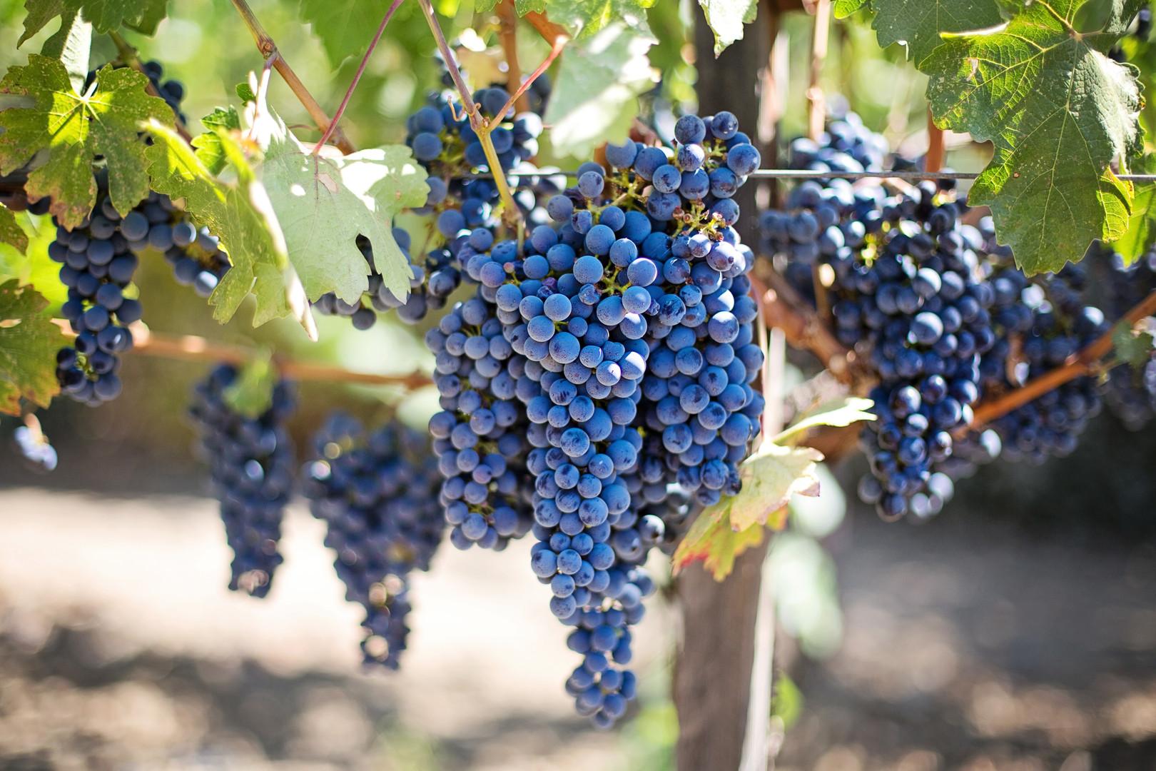 אשכולות ענבים לקראת בציר