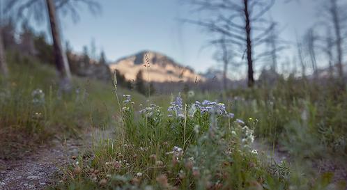 Glacier Wild Flowers