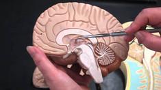 The Brain P1