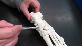 Appendicular Skeleton 8