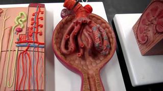 Urinary System P2